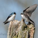 Mom and dad tree swallows
