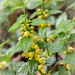The yellow archangel