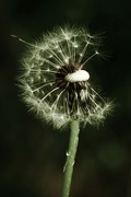 3rd May 2021 - Dandelion Wishes