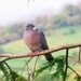 Pigeon on countryside background