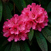 0507 - Rhododendron