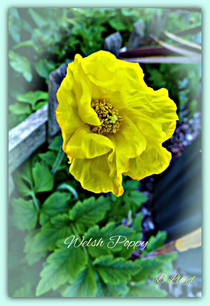 Welsh Poppy  by beryl