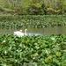 Swanlings