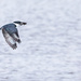Belted Kingfisher with his dinner