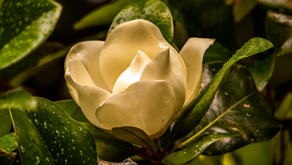 Magnolia Bloom After the Rain! by rickster549