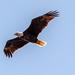 Bald Eagle Circling Overhead!