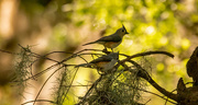 7th May 2021 - Tufted Titmouse Pair!