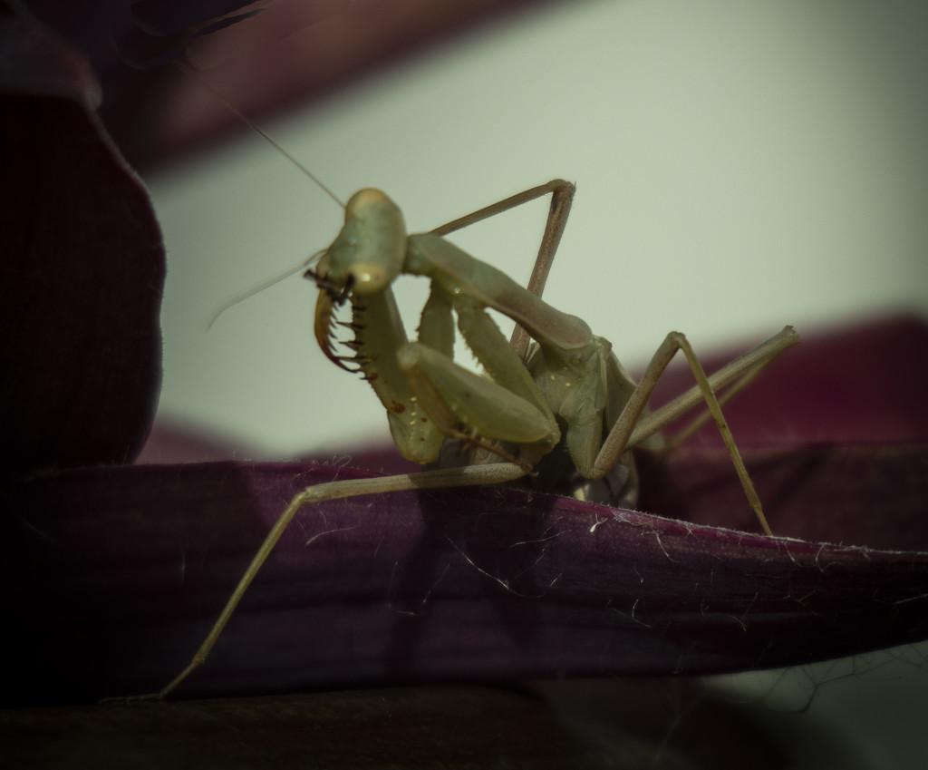 Preying mantis praying by suez1e