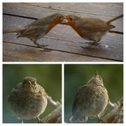 8th May 2021 - the habits of robins