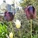 Tulips.....