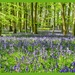 Bluebells,As Far As The Eye Can See