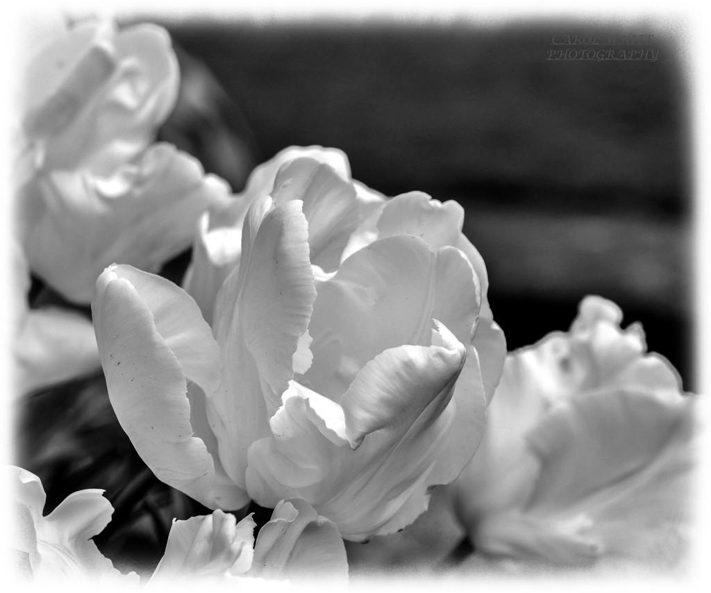 White Perfection by carolmw