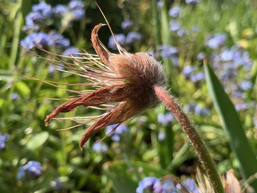 Pasque Flower Seed Head by 365projectmaxine
