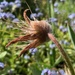 Pasque Flower Seed Head