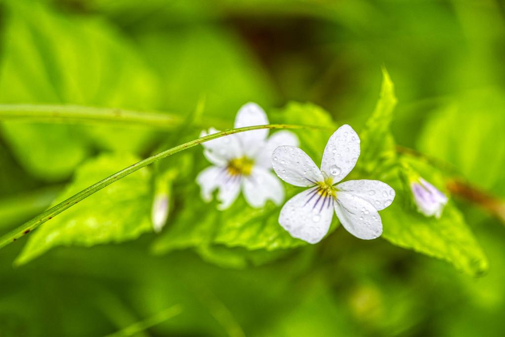 Sweet White Violet by kvphoto