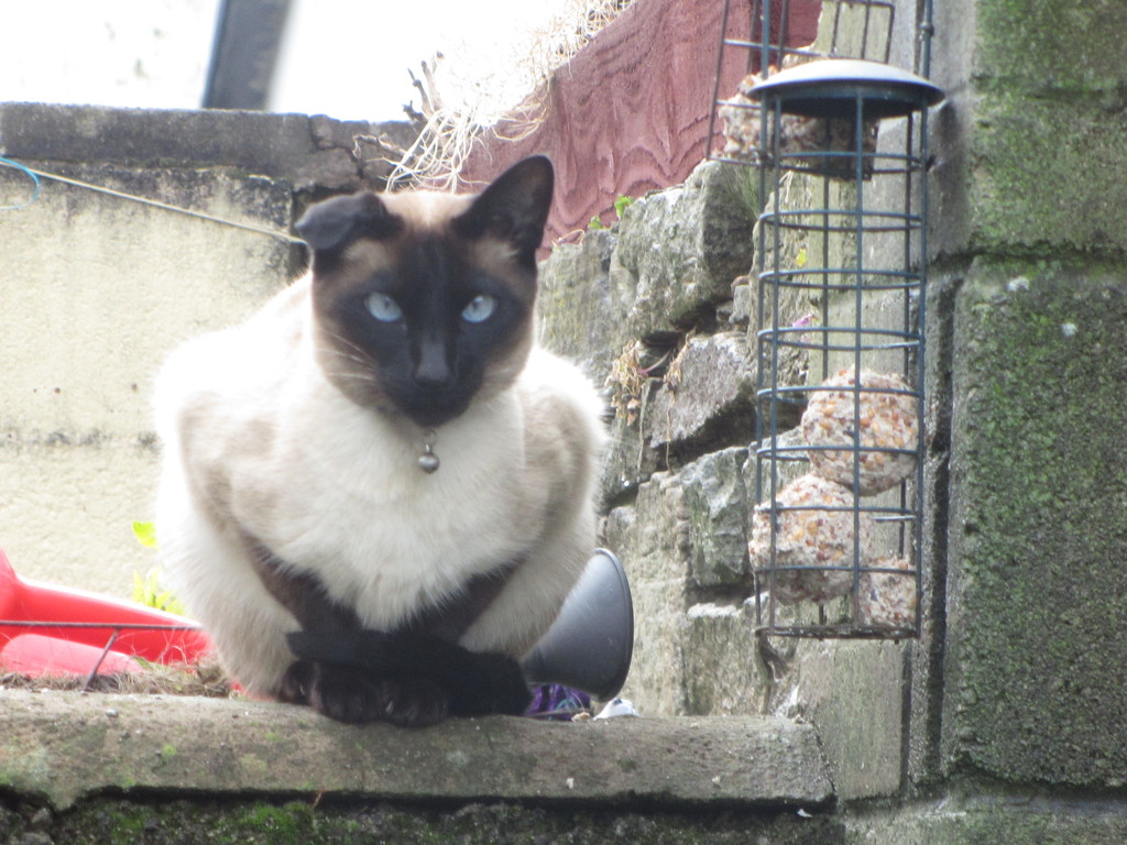 The neighbourhood siamese cat. by grace55