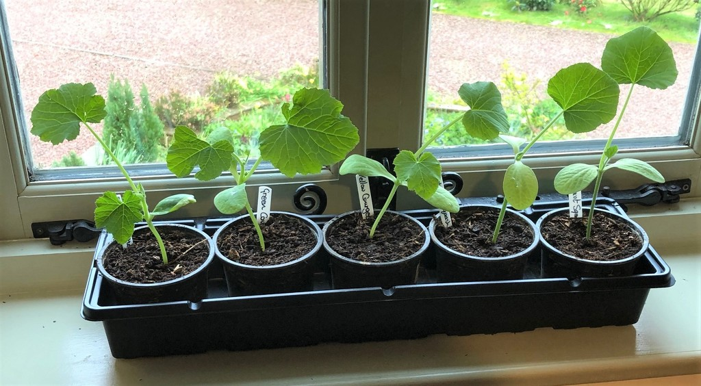 Courgettes and Butternut Squash - Growing Too Fast by susiemc
