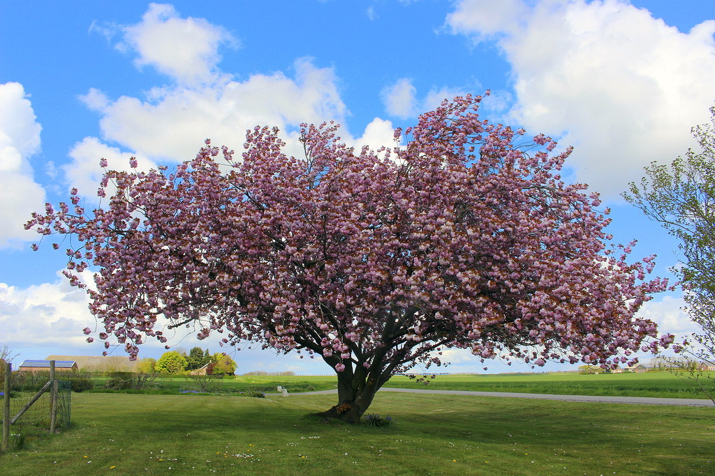 A blooming Prunus tree  by pyrrhula