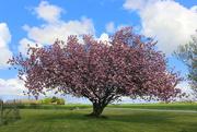 8th May 2021 - A blooming Prunus tree