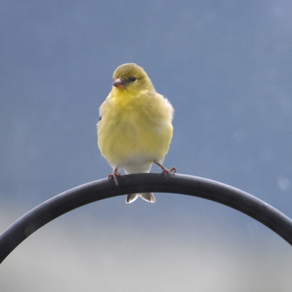 Goldfinch? by bjywamer