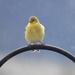 Goldfinch?