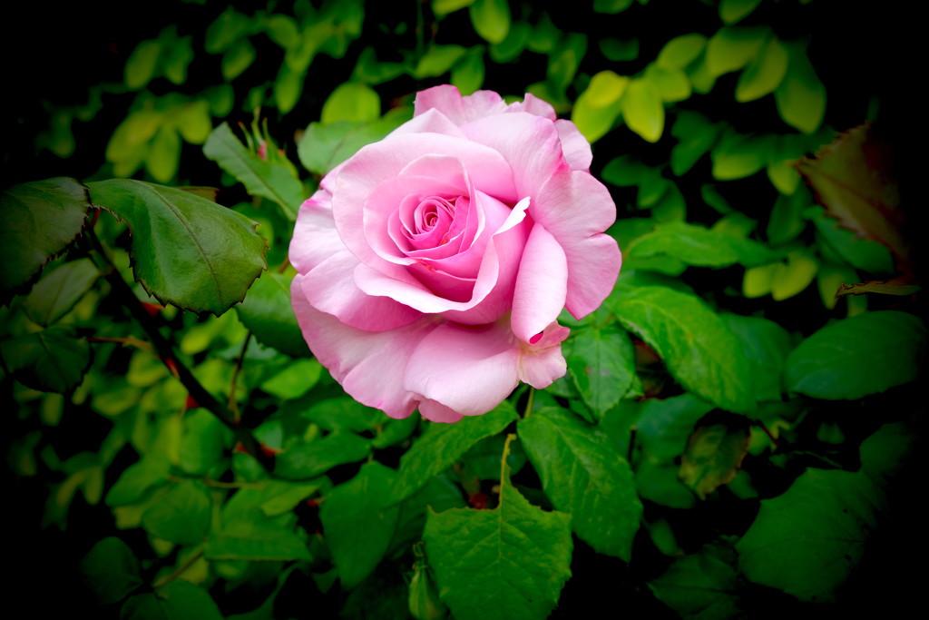Garden Rose by redy4et