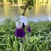 Iris on golden pond