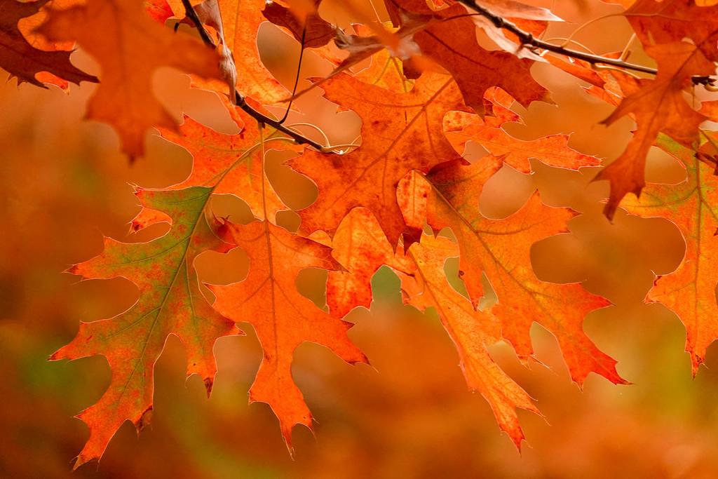 Oak leaves in autumn by maureenpp