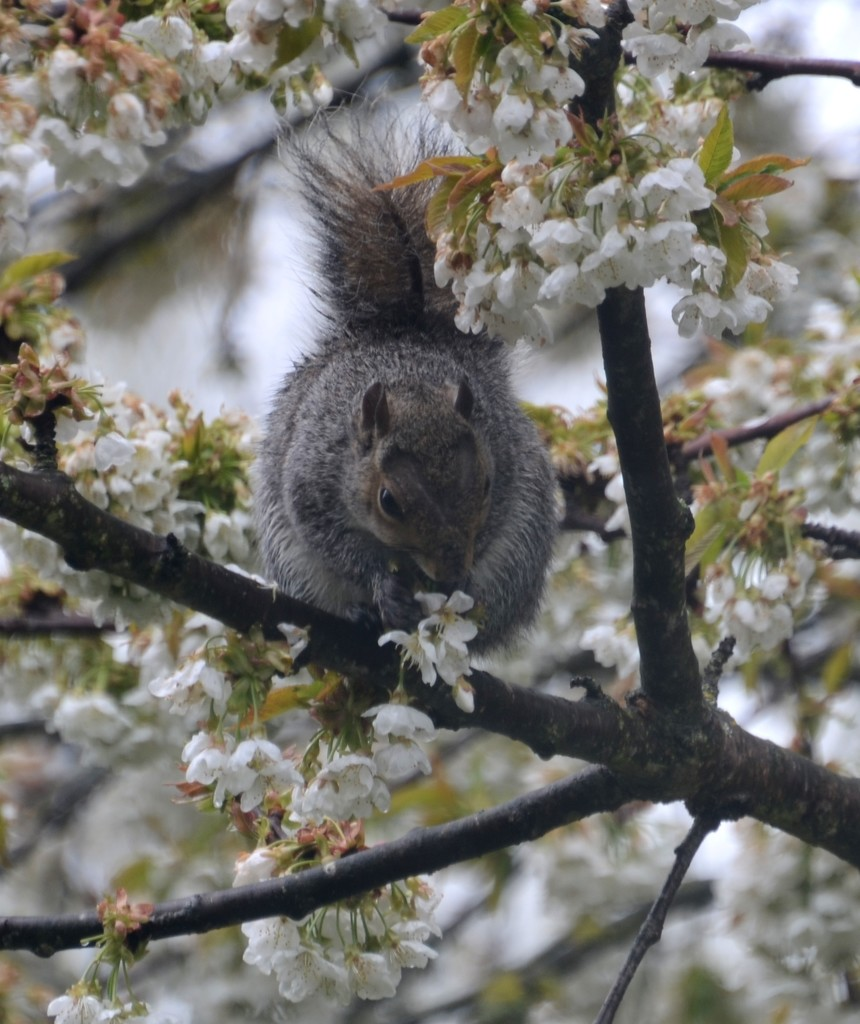 Squirrel Eating Cherry Blossom by arkensiel