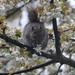 Squirrel Eating Cherry Blossom