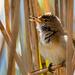 Warbling warbler