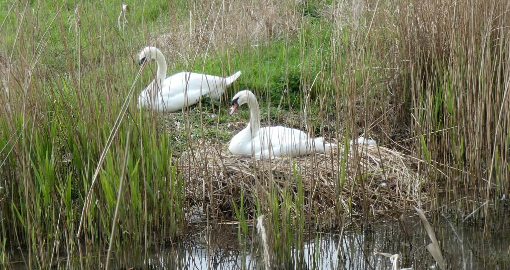 Swan On Nest by g3xbm
