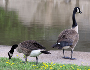 25th Apr 2021 - Geese