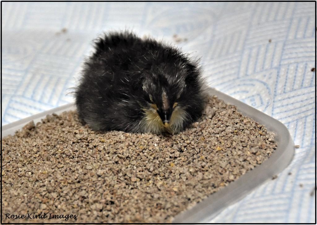 Little ball of fluff by rosiekind