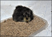 9th May 2021 - Little ball of fluff