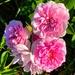Roses in sunlight