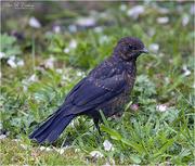 8th May 2021 - Young Blackbird