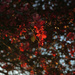 Crabapple blooms 1