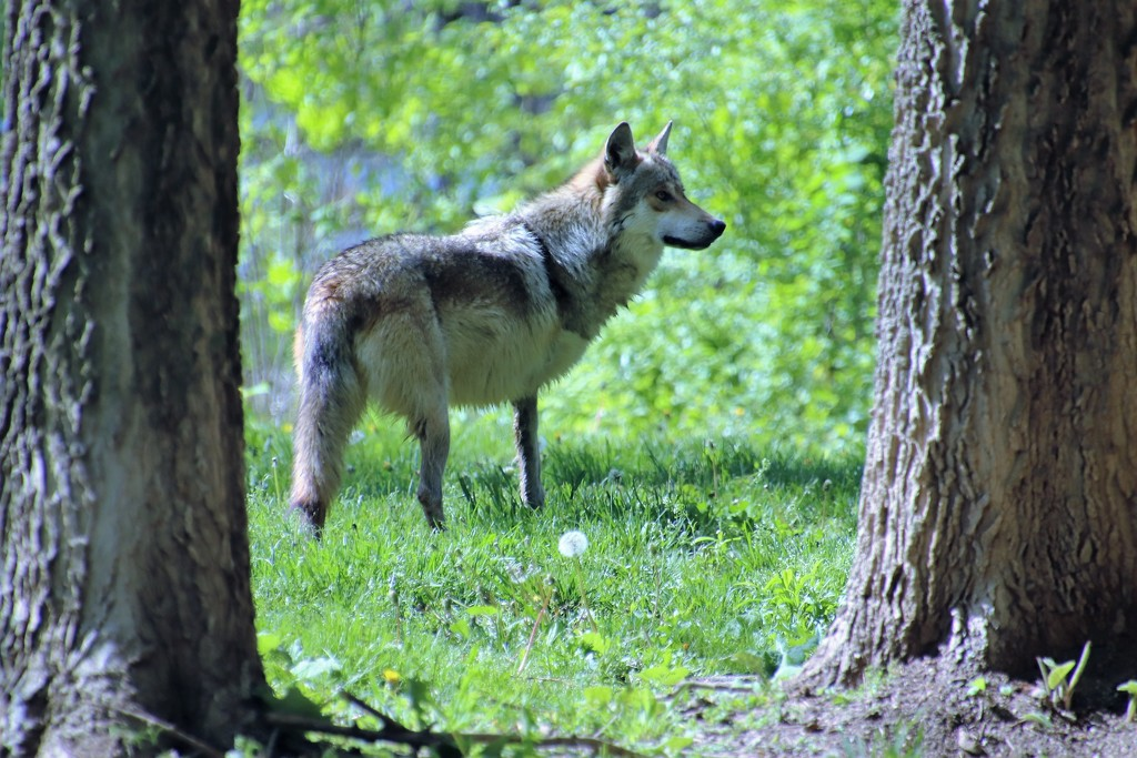Mexican Gray Wolf by randy23