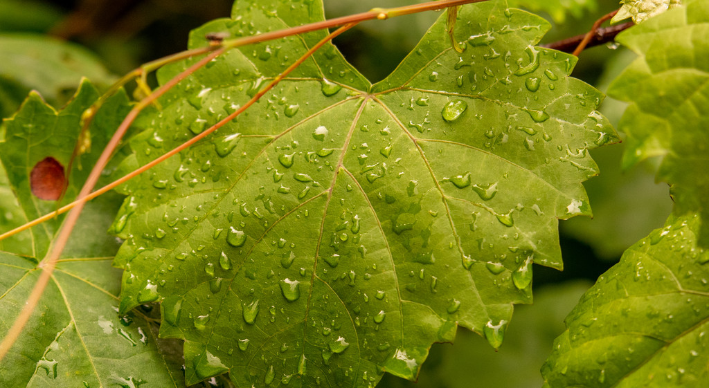 Leaf After the Rain! by rickster549