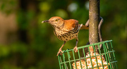 9th May 2021 - Brown Thrasher Going After the Suet!