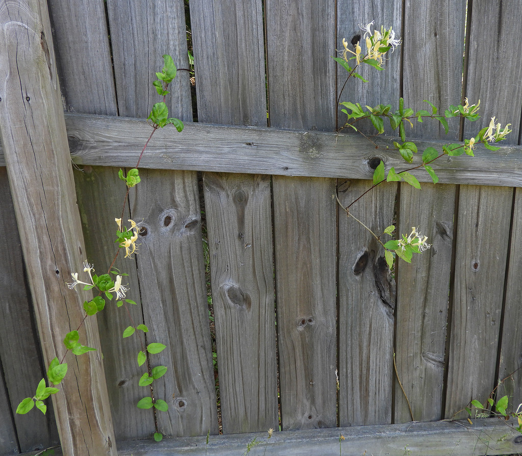 Honeysuckle fence by homeschoolmom
