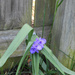 Spiderwort against the fence