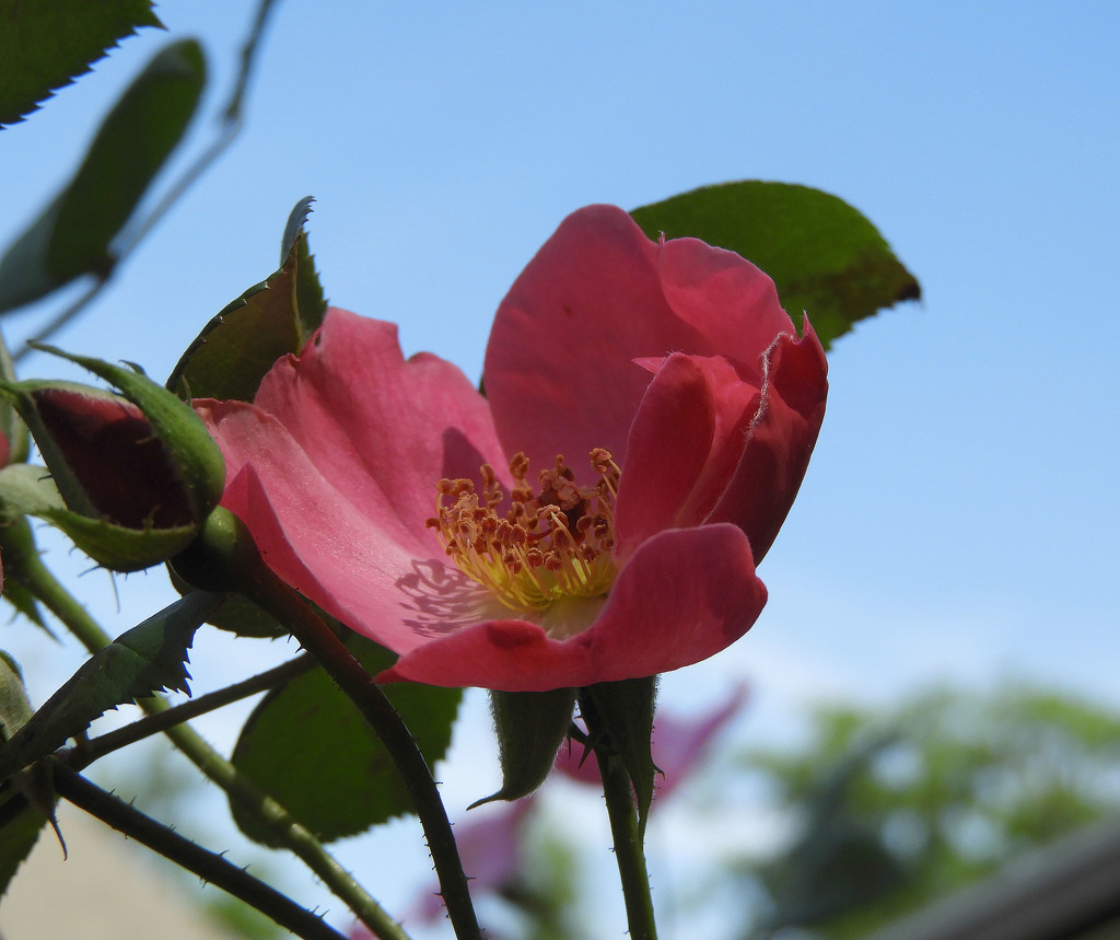 Pink rose and blue sky by homeschoolmom
