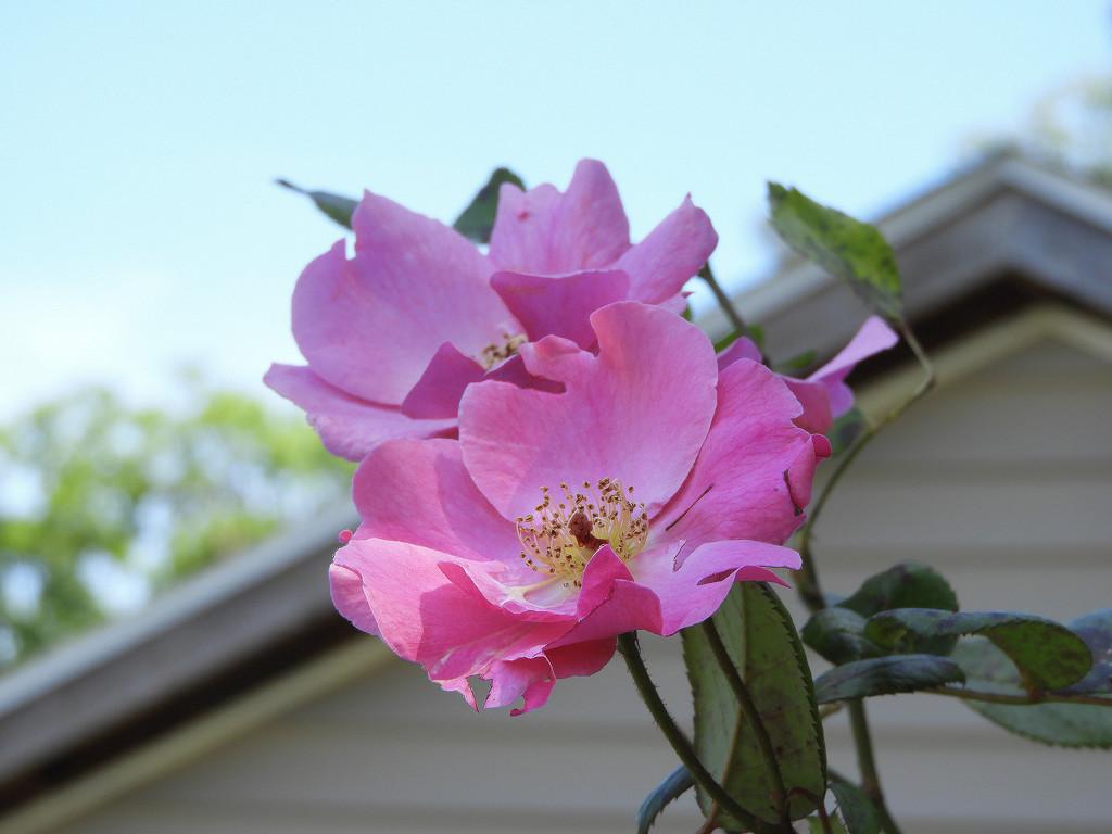 Pink roses by homeschoolmom