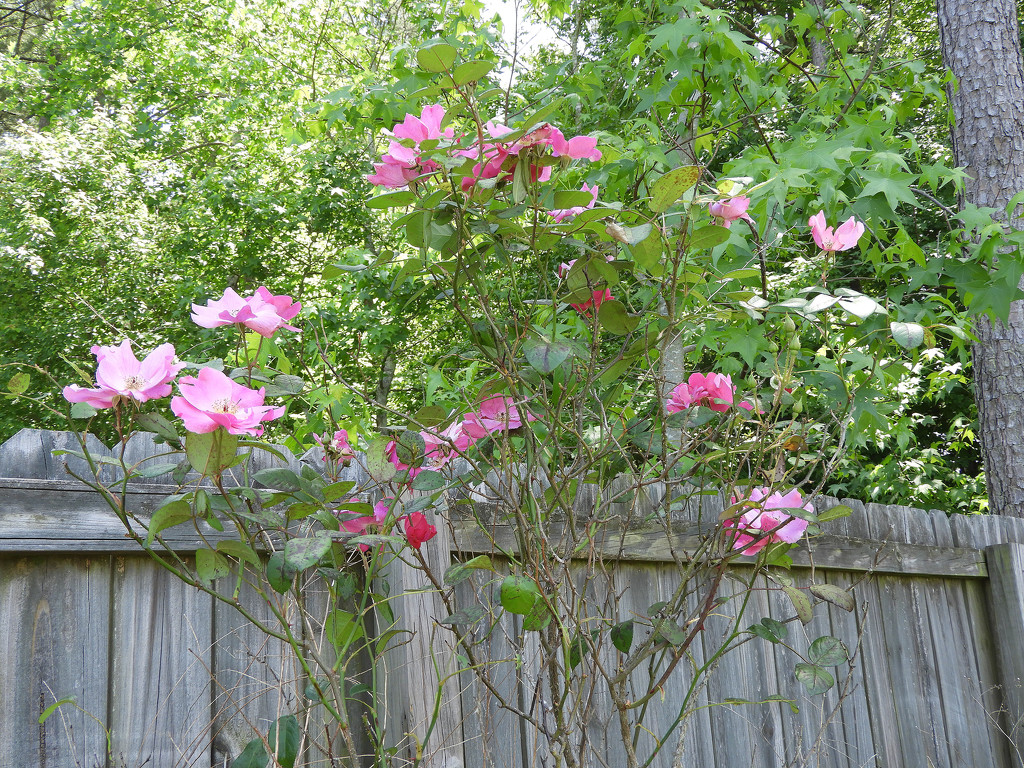 My rose bush is blooming by homeschoolmom