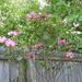 My rose bush is blooming
