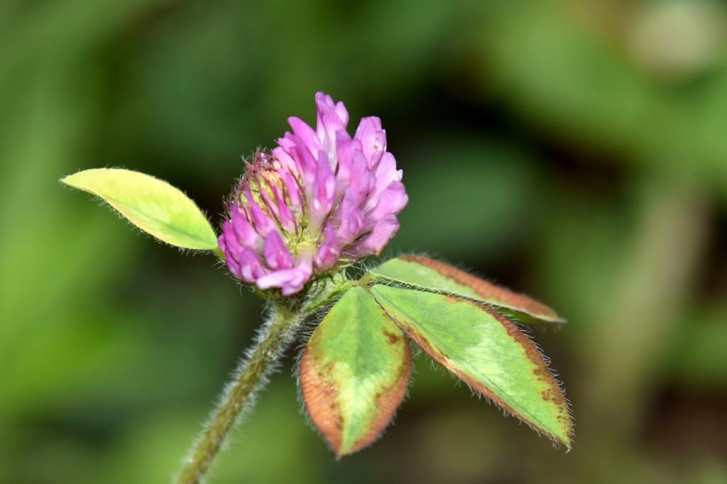 Pink Clover by genealogygenie