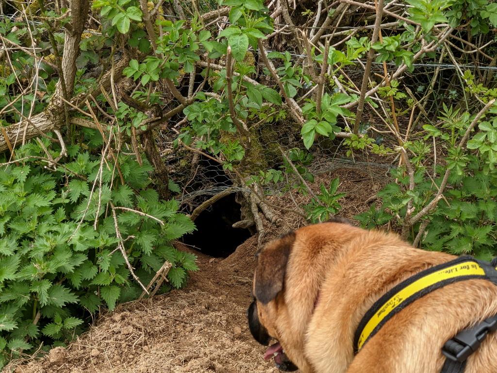 Badger Hunt by bulldog