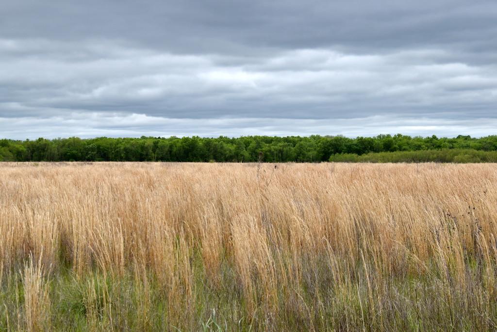 Native Grass by genealogygenie